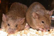 transgenic mice